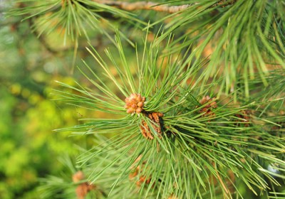 No more Forest Fire as Electricity will be Generated from Pine Needles