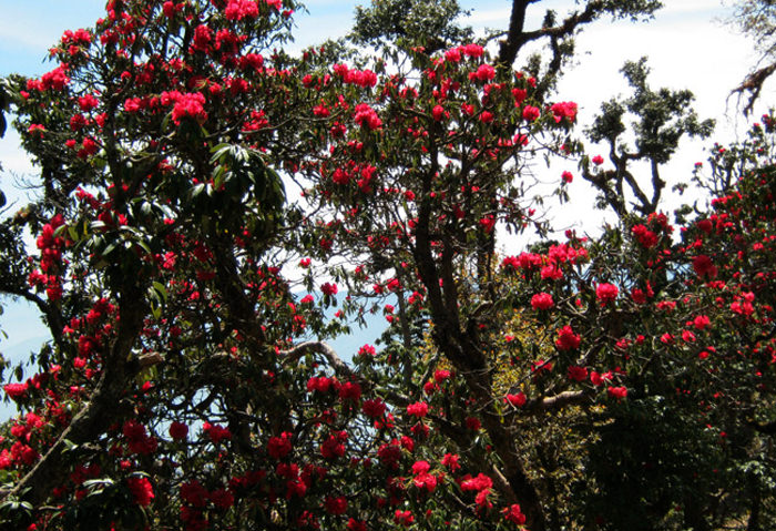 Buransh Rhododendrons as seen during Trek