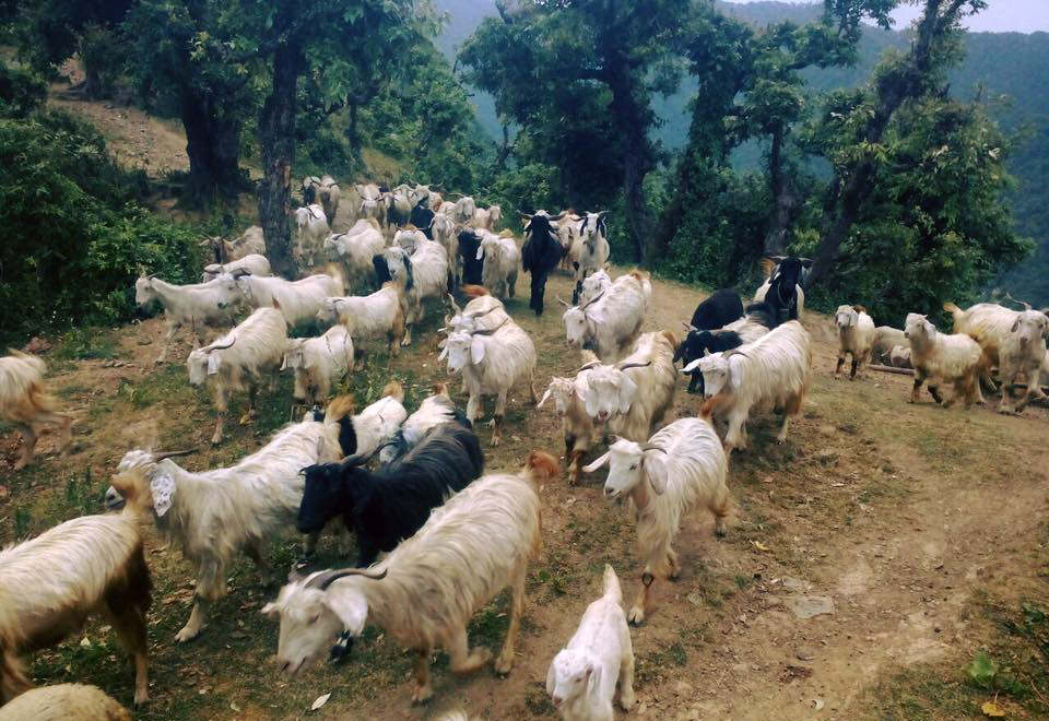 Goats in Goat Village