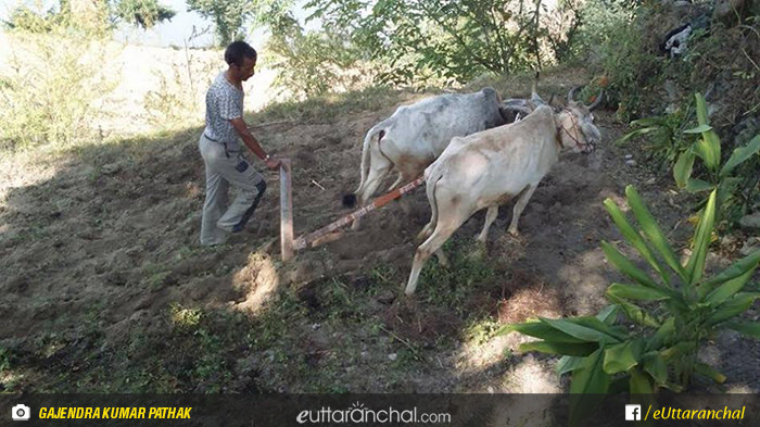 Use of Metallic plough in the villages of Uttarakhand