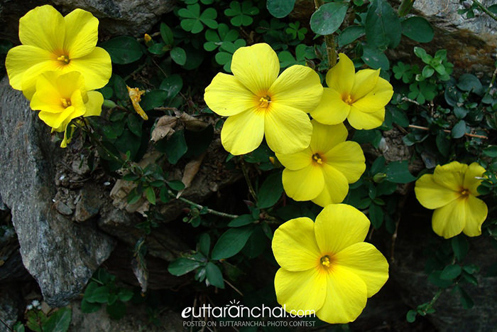 Phyunli Flower of Uttarakhand