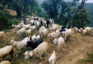 Goats in Goat Village